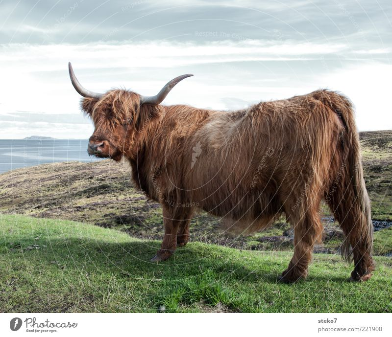 Lowrider Tier Wiese braun Küste groß Körperhaltung beobachten Fell Großbritannien Kuh Horn Schottland Nutztier buschig