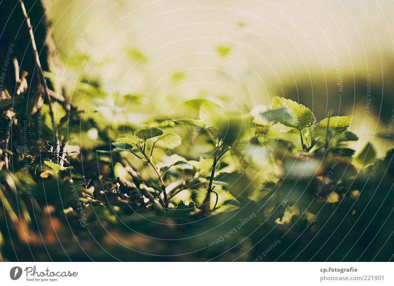 Die Kuhle Natur Pflanze Sommer Blatt Leben Frühling Zufriedenheit Schönes Wetter Grünpflanze Waldboden Blattgrün
