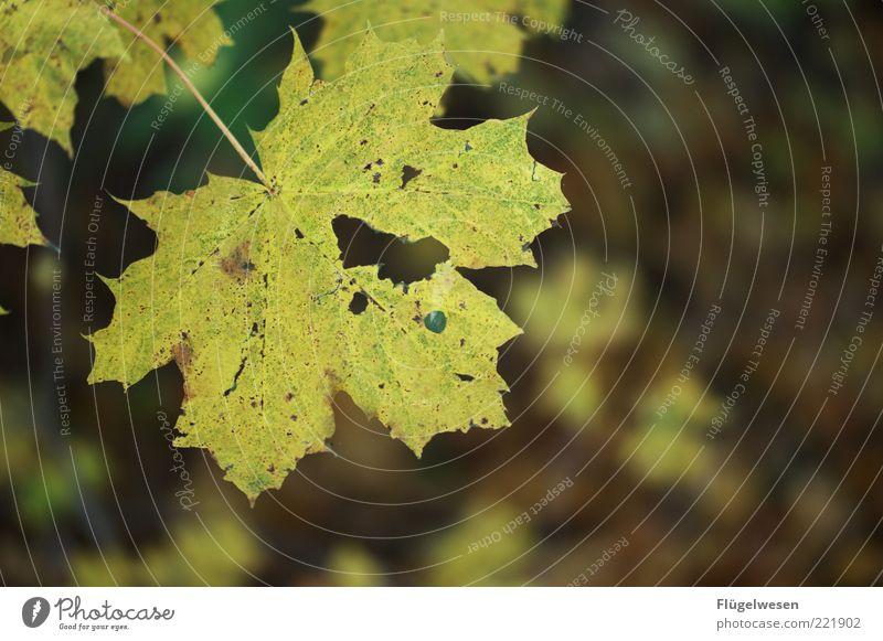 photocase_herbstbild.jpg Natur alt Pflanze Blatt Herbst Umwelt Klima Loch hässlich Klimawandel Herbstlaub herbstlich Herbstfärbung Herbstbeginn Ahornblatt