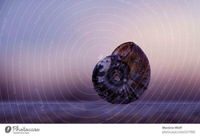 @ Natur ruhig Tier Häusliches Leben stehen Sicherheit Schutz violett Gleichgewicht Schnecke Spirale Domizil Schneckenhaus Rückzug