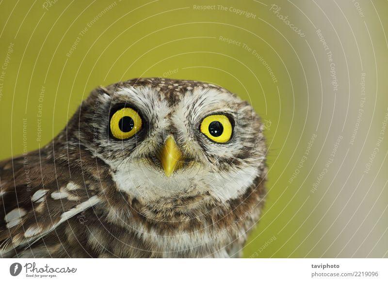 Nahaufnahme des schönen Athene Noctua Natur weiß Landschaft Tier Winter Wald gelb natürlich klein braun Vogel wild Feder Europa niedlich