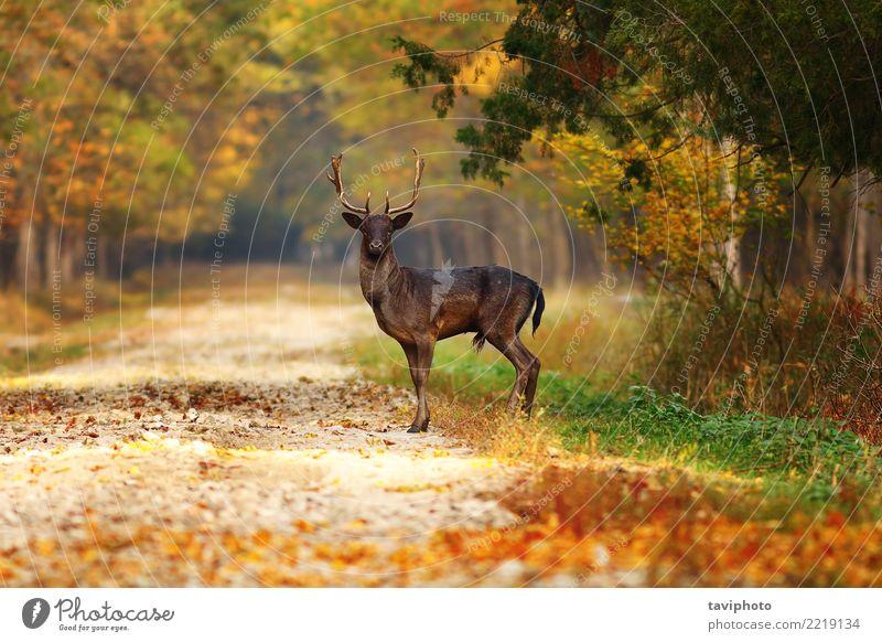 majestätischer Damhirschhirsch auf Waldweg Natur Mann schön grün Landschaft Tier Blatt dunkel Erwachsene Straße gelb Herbst Wege & Pfade natürlich braun