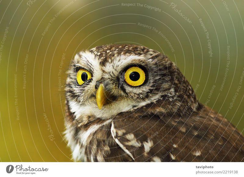 Porträt der niedlichen Steinkauz mit Bokeh schön Gesicht Natur Tier Vogel klein lustig natürlich wild braun gelb grün Farbe Waldohreule athen Noctua Tierwelt