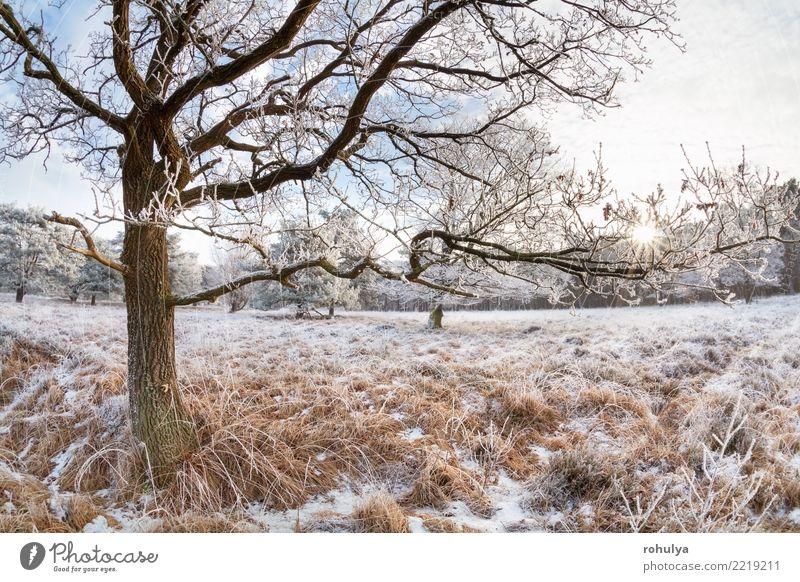 Sonnenlicht durch Eichenäste am Wintertag Schnee Natur Landschaft Himmel Sonnenaufgang Sonnenuntergang Schönes Wetter Eis Frost Baum Wiese Wald hell weiß Ast