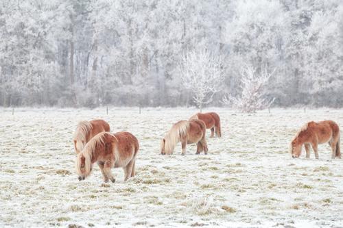 wenige Pony grasen auf verschneite Weide im Winter Natur Landschaft Tier Wiese Schnee klein Wetter Eis Feld niedlich Frost Jahreszeiten Pferd Fressen ländlich