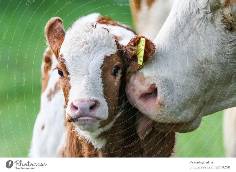 Kalb mit Kuh Nutztier 2 Tier Tierjunges Tierfamilie berühren Küssen Liebe Freundlichkeit Fröhlichkeit Glück kuschlig Neugier niedlich Zufriedenheit Vertrauen