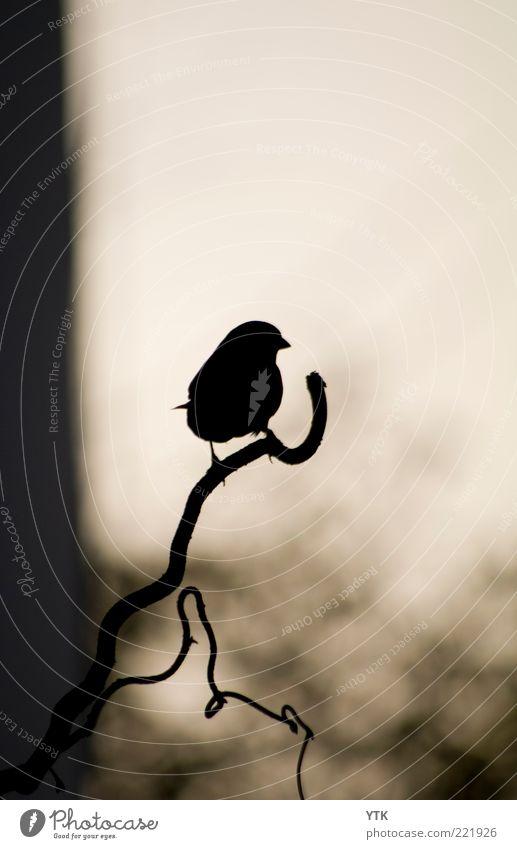 Blackbird Umwelt Natur Pflanze Tier Luft Wildtier Vogel Krallen 1 sitzen Stimmung Einsamkeit dunkel schwarz Momentaufnahme Kontrast warten Schnabel Silhouette