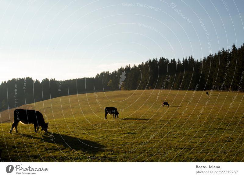 Kuh-Ensemble im Spätsommerlicht Essen elegant Wellness harmonisch Wohlgefühl Landwirtschaft Forstwirtschaft Natur Landschaft Pflanze Tier Wolkenloser Himmel