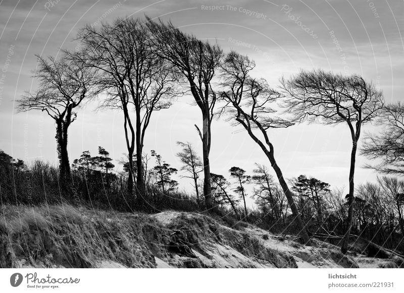 windgewachsen Umwelt Natur Landschaft Pflanze Urelemente Sand Luft Klima Klimawandel Wetter Wind Baum Küste Stranddüne ruhig Geäst Prerow alt eigenwillig
