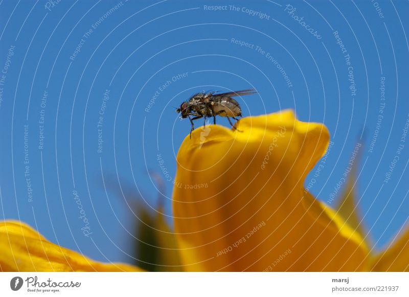Fliege flieg! Himmel Natur blau Pflanze Sommer Tier gelb Erholung klein sitzen Fliege natürlich authentisch Wildtier niedlich Gelassenheit