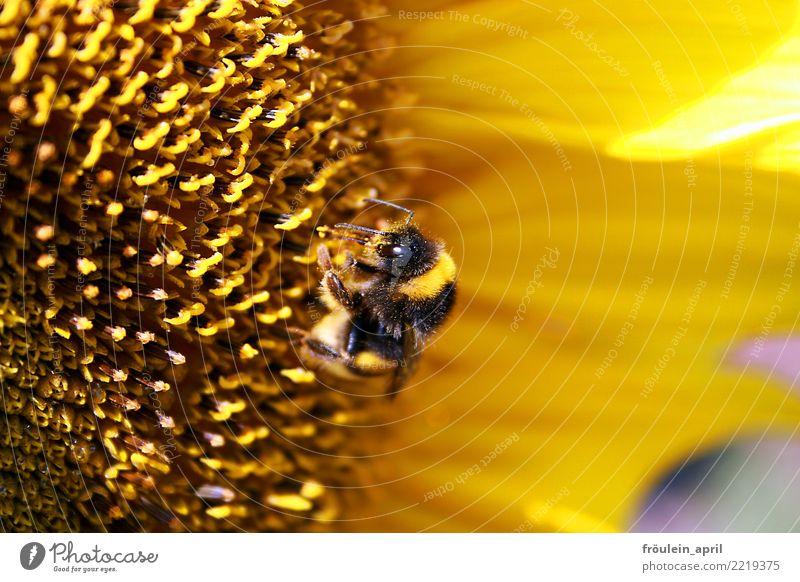Fleissige Hummel Natur Pflanze Tier Sommer Blume Blüte Sonnenblume Nutztier 1 Blühend Fressen außergewöhnlich klein nachhaltig natürlich braun gelb schwarz Mut