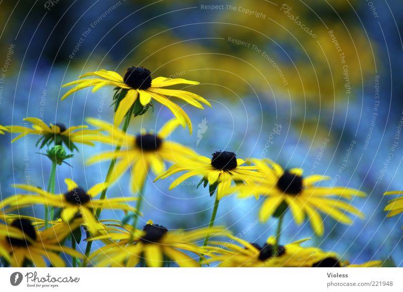 Sommergruss Natur Pflanze Blume blau gelb Frühlingsgefühle Sonnenhut Farbfoto Außenaufnahme Nahaufnahme Unschärfe Schwache Tiefenschärfe Blüte Menschenleer
