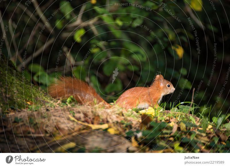 kleines Eichhörnchen im wald Wildtier wild süß niedlich Tier Schwanz Nagetiere Säugetier wildlife eichkätzchen eichkater braun Fell Herbst Wald schön Natur
