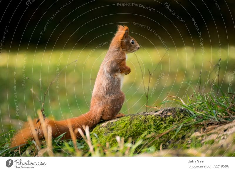 kleines Eichhörnchen auf der Wiese Wildtier wild süß niedlich Tier Schwanz Nagetiere Säugetier wildlife eichkätzchen eichkater braun Fell Herbst Wald schön