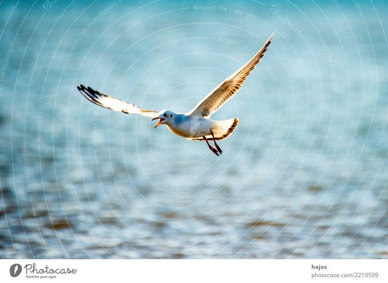 Lachmöwe beim Flug über die polmische Ostseeküste Tier Wildtier Vogel 1 fliegen maritim blau Möwe Himmel einzeln Osstee Widltier Polen Farbfoto Außenaufnahme