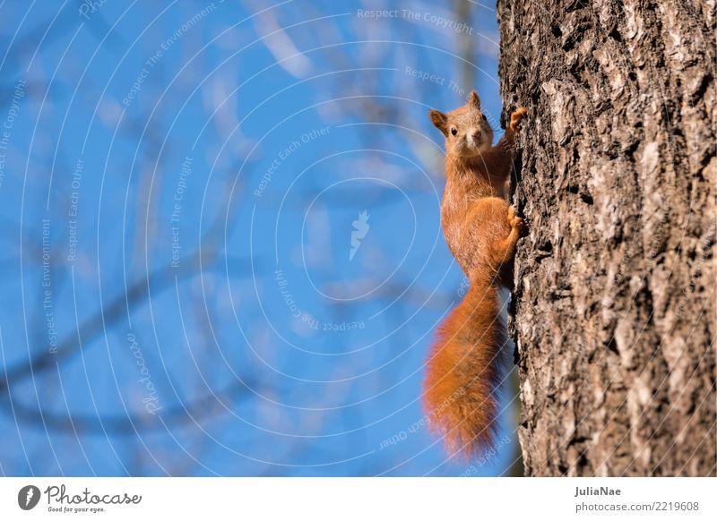 kleines Eichhörnchen am Baum Wildtier wild süß niedlich Tier Schwanz Nagetiere Säugetier wildlife eichkätzchen eichkater braun Fell schön Natur natürlich Ohr