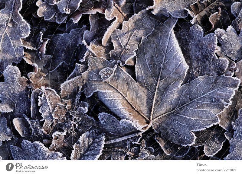 frosted Natur Winter Blatt kalt Herbst Eis Frost unten gefroren bewegungslos Raureif Blattadern Herbstlaub Ahornblatt Wintertag Eichenblatt
