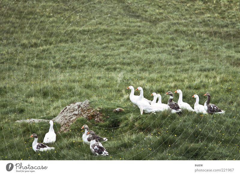 Gans oder gar nicht Umwelt Natur Tier Wiese Wildtier Vogel Tiergruppe frei klein Neugier wild grün Landleben Wildgans Farbfoto Gedeckte Farben Außenaufnahme