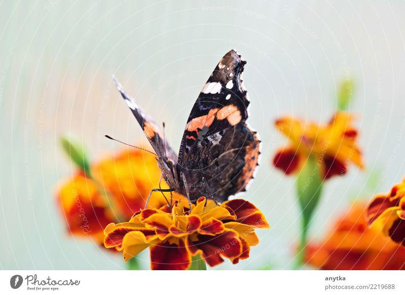 Natur Pflanze Sommer Farbe Tier schwarz Blüte Frühling Garten Kopf Körper Flügel Jahreszeiten Schmetterling Blütenblatt Gartenarbeit
