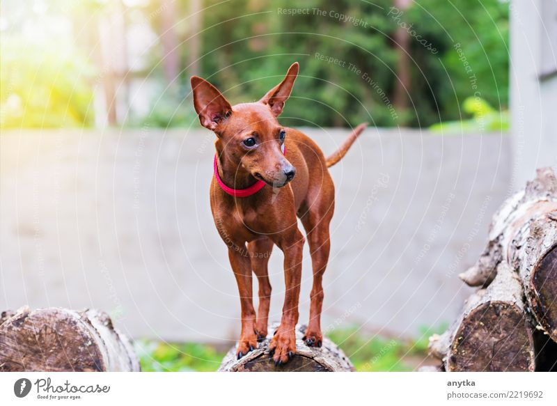 Porträt des roten Zwergpinscherhundes Natur Hund Sommer grün Tier Freude Tierjunges klein Glück Garten Freundschaft niedlich Haustier Säugetier reizvoll