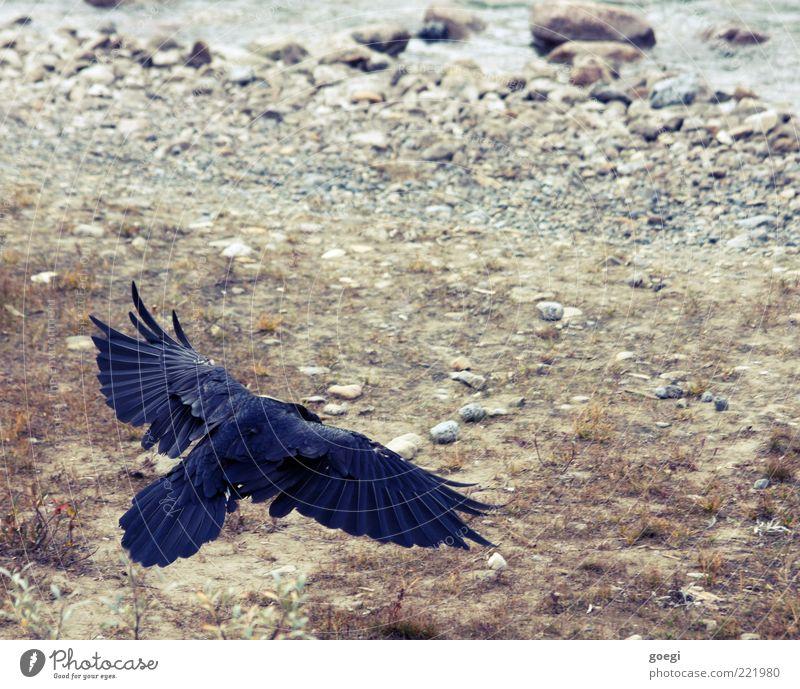 touch down Natur Tier Erde Wasser Wildtier Rabenvögel Kolkrabe Krähe 1 fliegen blau braun grau schwarz Kraft Boden Flügel Feder Weisheit klug Farbfoto