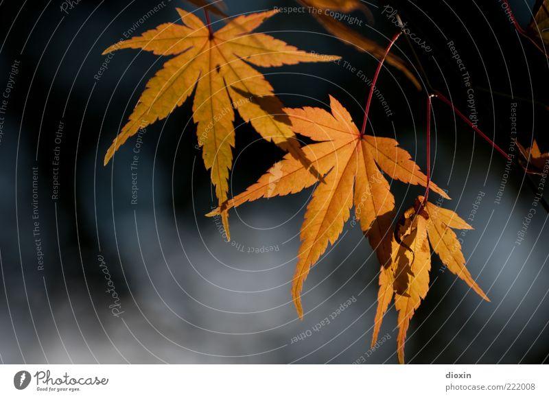 Novemberlicht Natur Baum Pflanze Blatt gelb Herbst braun Umwelt gold leuchten Schönes Wetter Blattadern Herbstlaub herbstlich Herbstfärbung Vor dunklem Hintergrund