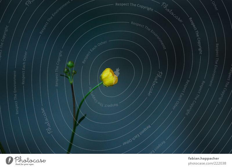 Einsam im dunkeln Natur Blume grün blau Pflanze Sommer gelb Blüte Frühling ästhetisch Wachstum Blühend Duft einzeln verblüht Grünpflanze