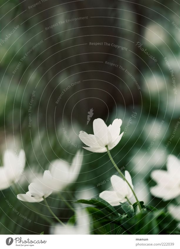 früh im Jahr Natur Frühling Pflanze Blatt Blüte Wildpflanze Frühlingsblume Frühblüher Buschwindröschen Waldblume Blühend Duft natürlich Frühlingsgefühle