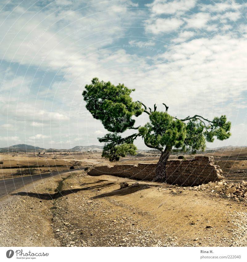 Einsame Pinie Natur Himmel Baum Pflanze Einsamkeit Ferne gelb Straße Herbst Mauer Wege & Pfade Sand Landschaft Wetter Umwelt Klima