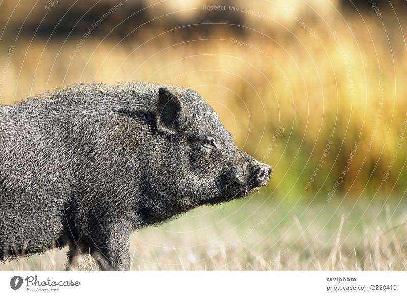 Nahaufnahme des vietnamesischen schwarzen Schweins Umwelt Natur Tier Haustier dreckig frei klein lustig natürlich niedlich Schweinefleisch Hausschwein Bauernhof