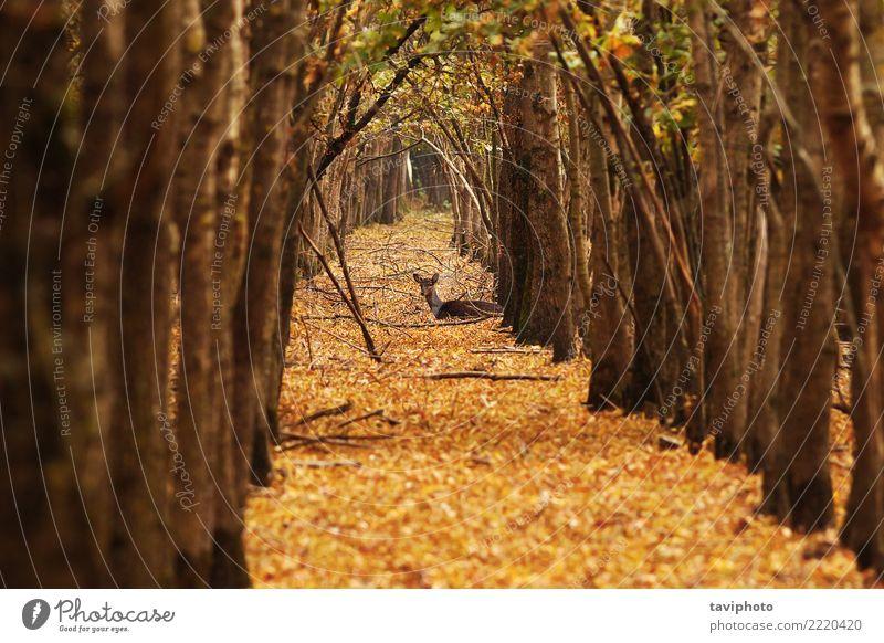Hirsch Damhirschkuh im Herbst Wald schön Jagd Frau Erwachsene Natur Landschaft Tier Baum verblüht natürlich wild braun Einsamkeit Hirsche Brachland Säugetier