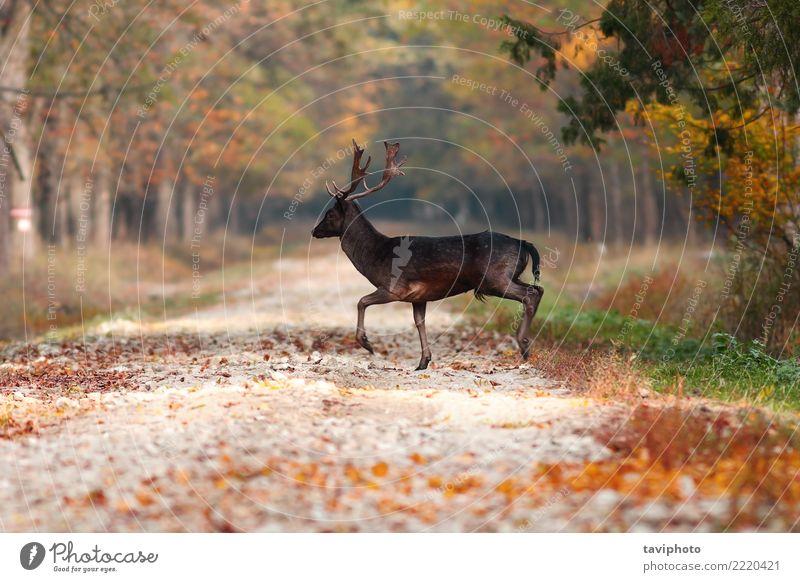Hirsch im Wald schön Spielen Jagd Mann Erwachsene Natur Landschaft Tier Herbst Blatt Straße Pelzmantel verblüht groß natürlich wild braun gelb Brachland Hirsche