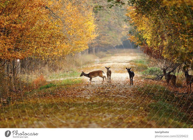 Hirsche auf der Landstraße Frau Natur schön Landschaft Tier Wald Erwachsene Straße Herbst Wege & Pfade natürlich braun wild Park Jahreszeiten Beautyfotografie