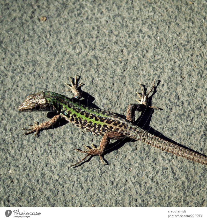 *.exe grün Tier klein Tierfuß Beton beobachten Wildtier Sonnenbad Schwanz Reptil Echsen Schuppen Echte Eidechsen