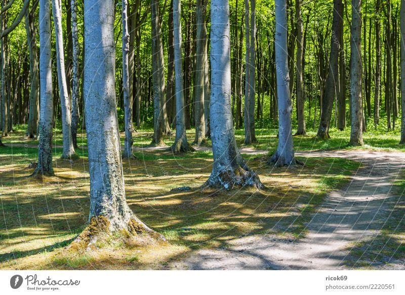 Der Gespensterwald in Nienhagen Erholung Ferien & Urlaub & Reisen Tourismus Natur Landschaft Baum Wald Wege & Pfade grün Romantik Idylle Umwelt Küstenwald