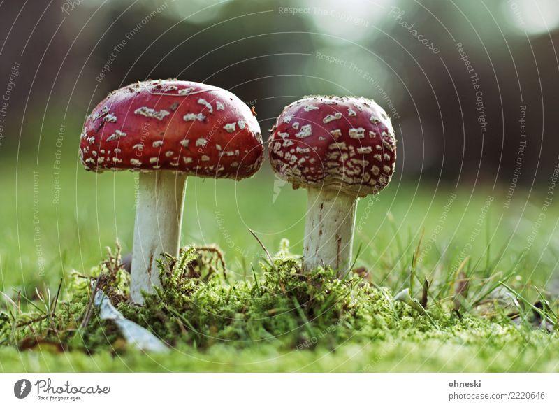 Mushrooms Umwelt Natur Herbst Wiese rot Gift Rauschmittel Fliegenpilz Pilz Farbfoto Außenaufnahme Textfreiraum rechts Textfreiraum oben Textfreiraum unten Tag