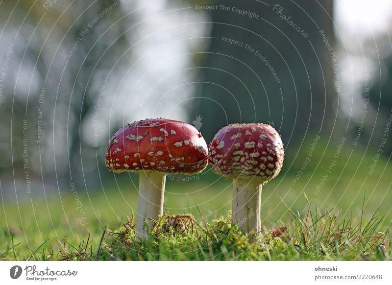 Magic Umwelt Natur Herbst Wiese rot Pilz Fliegenpilz Rauschmittel Gift Farbfoto Außenaufnahme Textfreiraum links Textfreiraum rechts Textfreiraum oben Tag