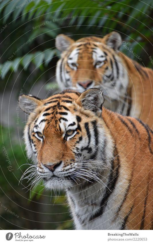 Katze Natur Tier Tierjunges Familie & Verwandtschaft Zusammensein wild Wildtier beobachten Säugetier Wachsamkeit Zoo Tiergesicht Tiger wach Fleischfresser