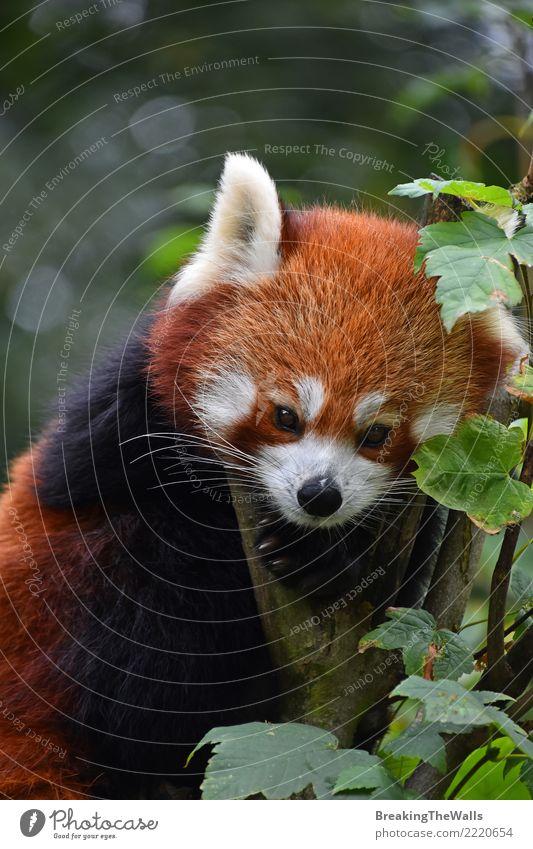 Schließen Sie herauf Porträt des roten Pandas auf Baum Tier Wildtier Zoo roter Panda Firefox kleinerer Panda Säugetier 1 wild braun orange niedlich Farbfoto