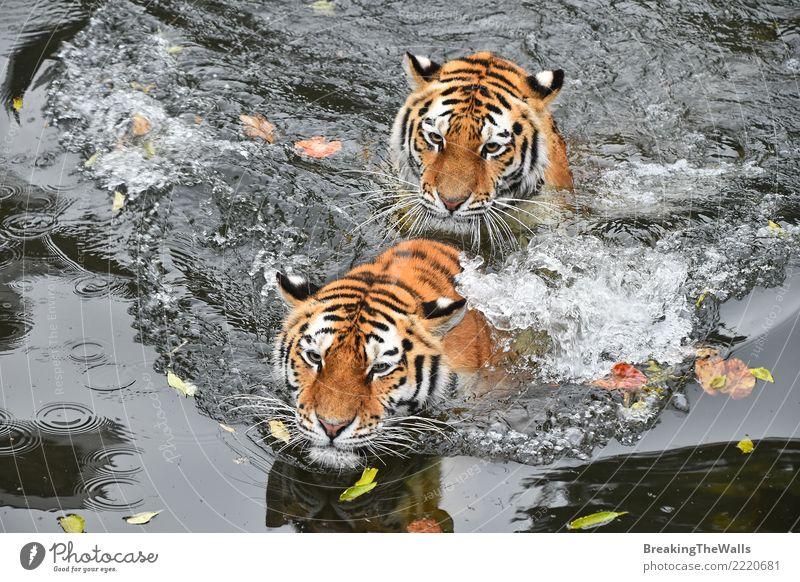 Schließen Sie oben von zwei Tigern, die im Wasser schwimmen Natur See Fluss Tier Wildtier Tiergesicht Zoo Katze Fleischfresser Säugetier Amur-Tiger Raubkatze