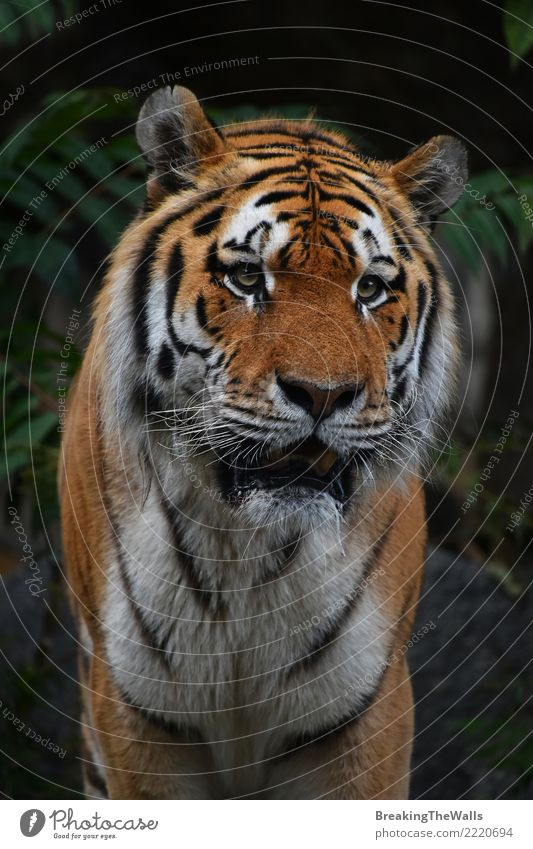 Schließen Sie herauf Porträt des Amur-Tigermannes Natur Tier Wildtier Tiergesicht Zoo Kopf Schnauze Auge sibirischer Tiger Säugetier Fleischfresser Raubtier