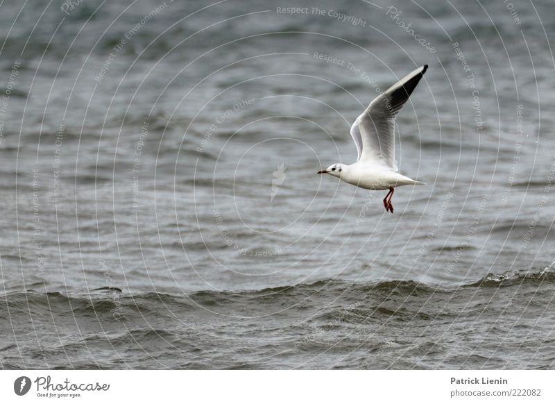 bird flew by Umwelt Natur Tier Urelemente Wasser Wellen Ostsee Meer Wildtier Flügel 1 beobachten fliegen Blick ästhetisch elegant schön nass Geschwindigkeit