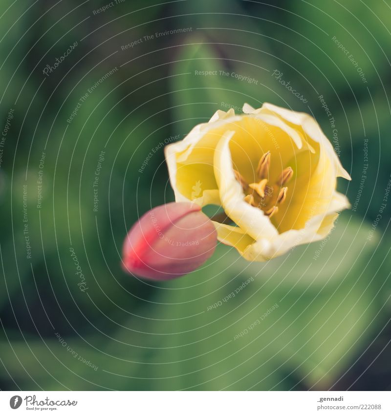 Zeichen für das Leben Umwelt Natur Pflanze Sommer Blume Tulpe Blühend Wachstum natürlich seriös Vergänglichkeit Blüte rot grün gelb mehrfarbig Duft schön offen