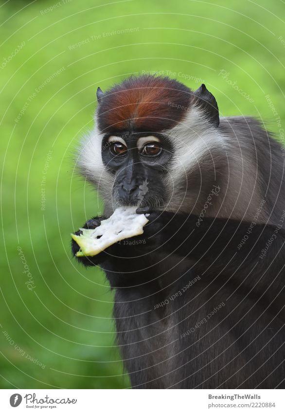 Schließen Sie herauf Porträt des Kragenmangabey-Affeessens Tier Wildtier Tiergesicht Zoo Primas Affen Halsband mangabey Cercocebus Drehmoment Rotkappen-Mangabey