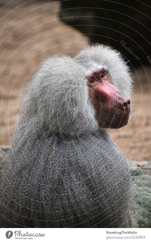 Porträt des männlichen hamadryas Pavians, der weg schaut Tier Wildtier Tiergesicht Zoo Affen Säugetier 1 Blick Afrikanisch wild gefährlich Risiko