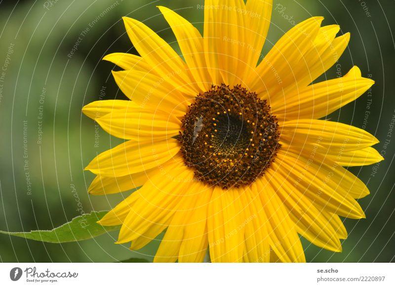 Kleine Sonne Natur Pflanze Sommer Blume Grünpflanze Garten Duft einfach elegant frisch groß natürlich schön gelb grün Glück Fröhlichkeit Sonnenblume Farbfoto