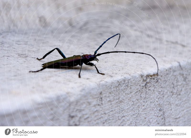 Huge Bug Tier schwarz Angst elegant groß Treppe Neugier lang Mut Käfer Stolz abwärts krabbeln Fühler Tapferkeit