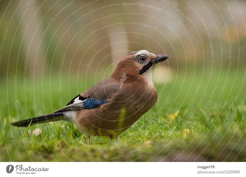 Eichelhäher Umwelt Natur Tier Sonnenlicht Frühling Sommer Herbst Schönes Wetter Pflanze Gras Garten Park Wiese Feld Wald Wildtier Vogel Tiergesicht Flügel 1