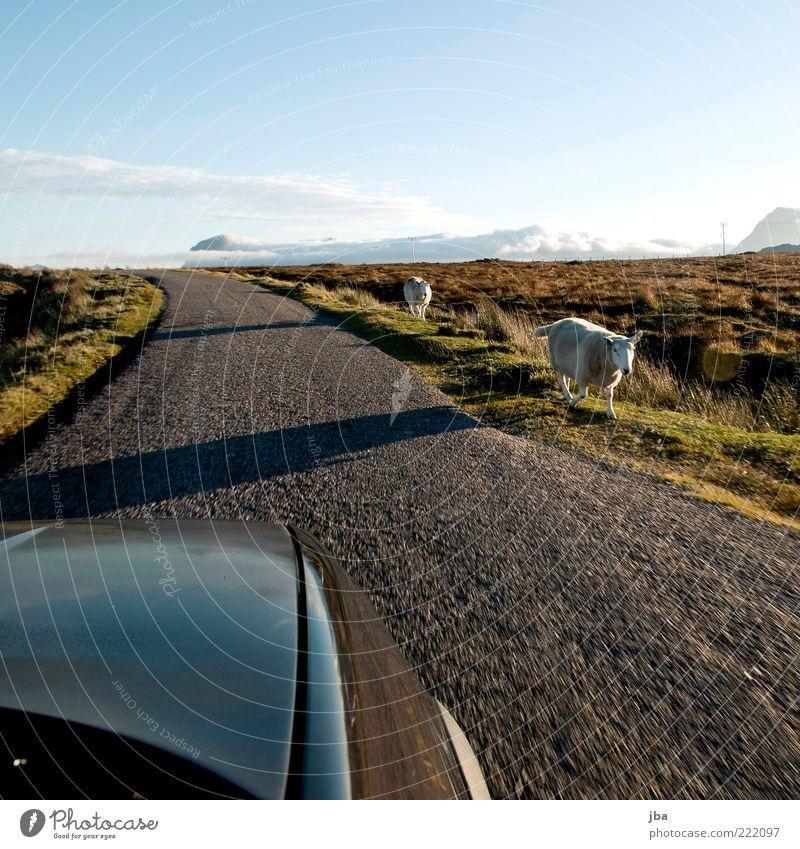 Gegenverkehr {N8} Ferien & Urlaub & Reisen Ausflug Sommer Sommerurlaub Natur Schönes Wetter Hügel Schottland Verkehr Verkehrswege Autofahren Straße PKW Tier
