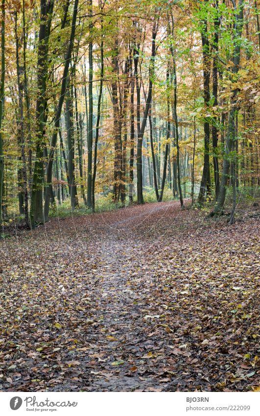 Herbstlichst... Natur Baum grün Pflanze ruhig Blatt gelb Wald kalt Herbst Holz Landschaft braun Umwelt Vergänglichkeit Fußweg